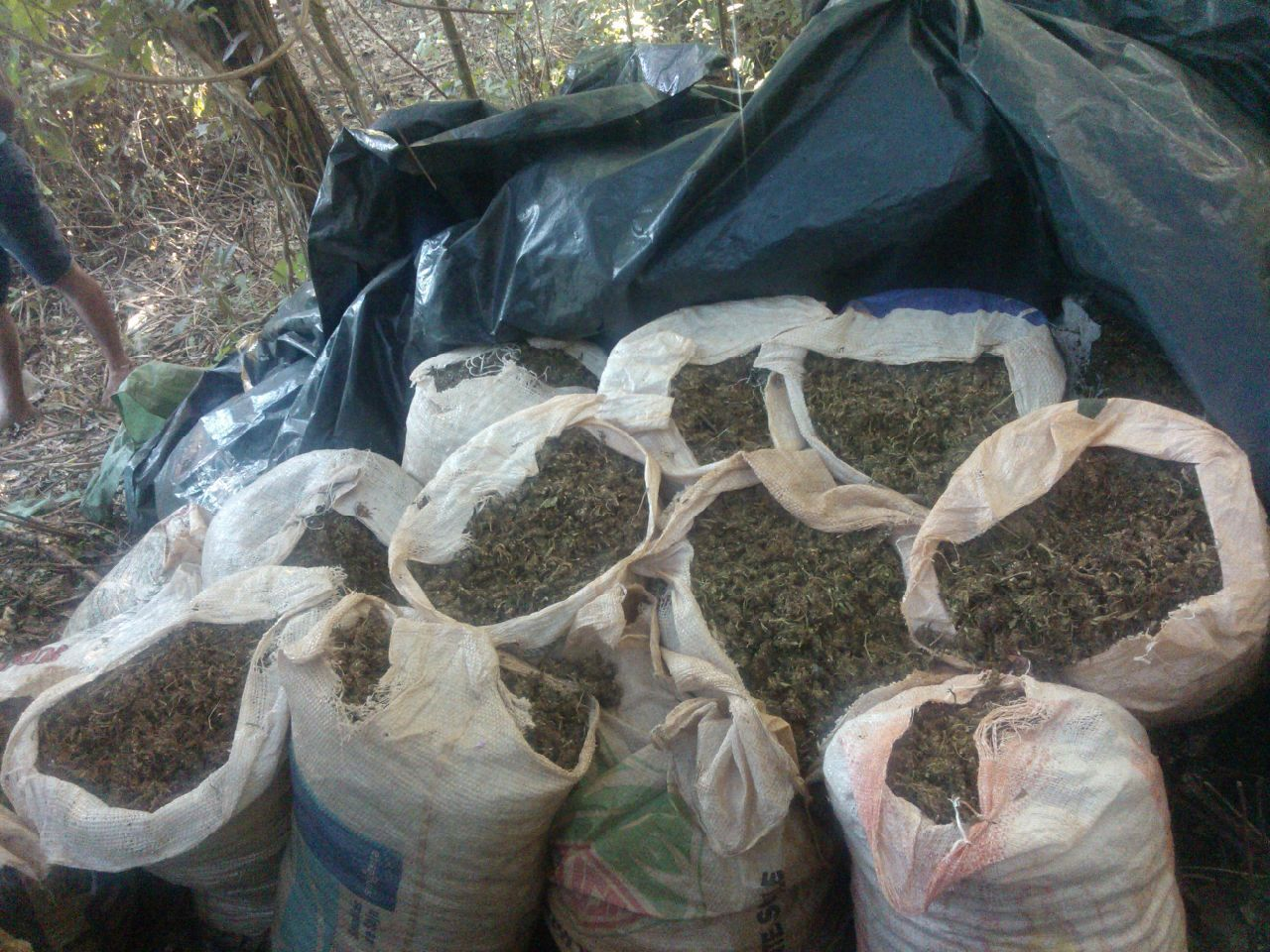 Hallan 2.200 kilos de marihuana en Canindeyú
