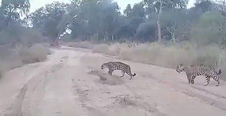 Los ejemplares fueron vistos mientras cruzaban una carretera en el Chaco.