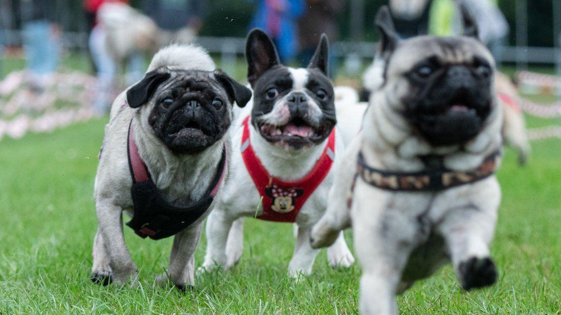 Una peculiar carrera de pugs y bulldogs en Alemania