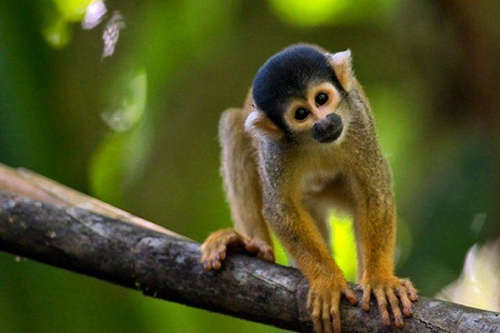 Intentó robar un mono para su novia y acabó peleando con simios
