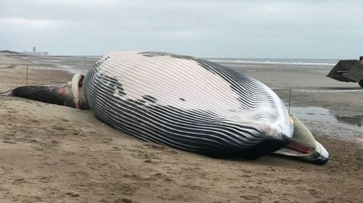 Bélgica: una imponente ballena de 18 metros apareció muerta