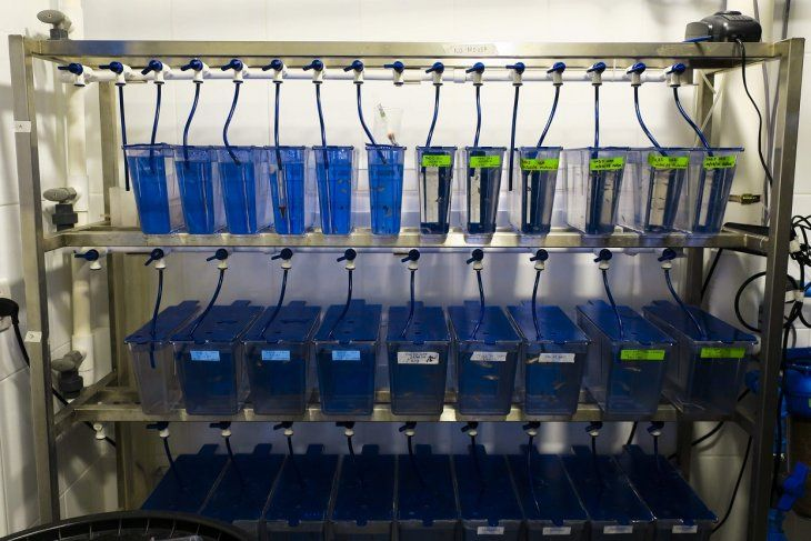 Pequeños peces son utilizados para crear la primera versión de piel fotosintética.