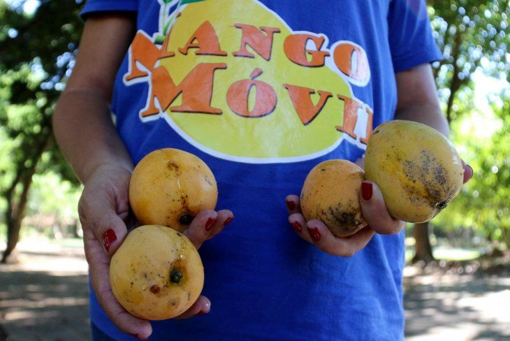 Asunción establece cada verano un servicio de recolección de mangos