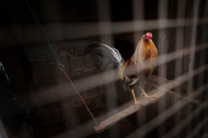 Salvando Hocicos Paraguay está recabando información sobre la riña de gallos en Areguá