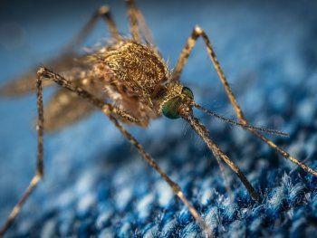 El dengue es una infección vírica propia de climas tropicales y subtropicales transmitida por los mosquitos Aedes aegypti.