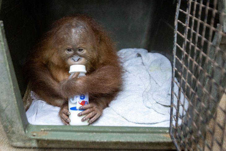 El orangután de dos años se toma un biberón durante una rueda de prensa este lunes en Bali.