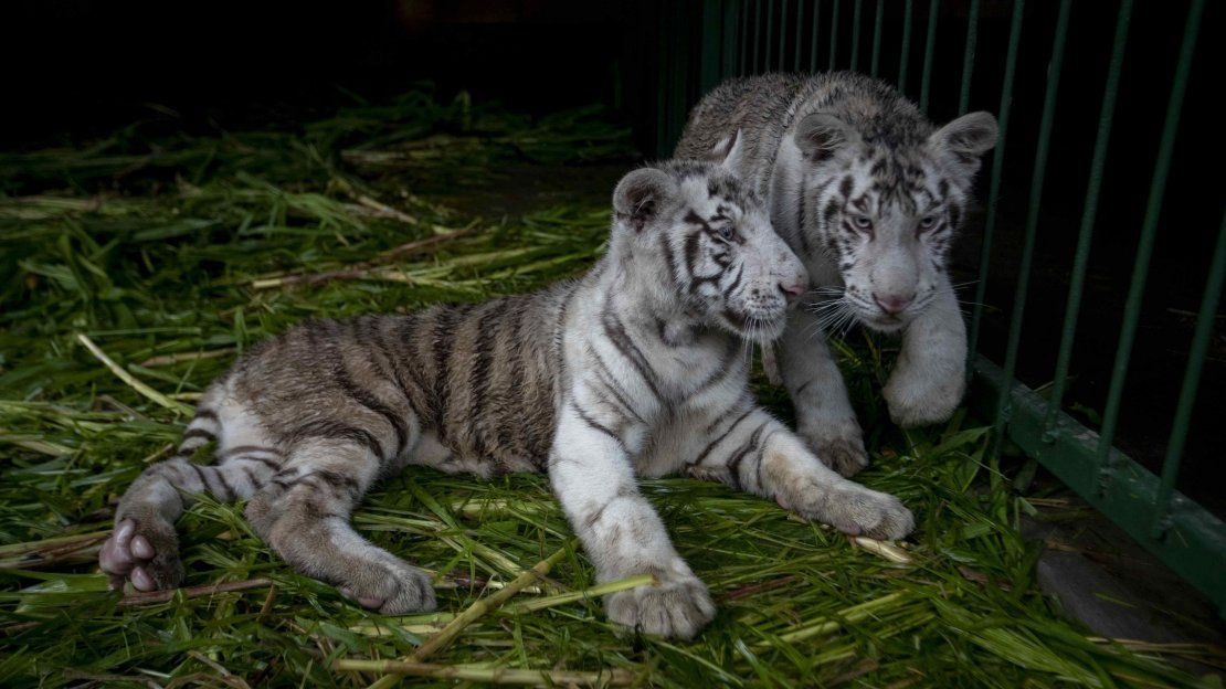 Crías de tigre blanco, únicas en Centroamérica