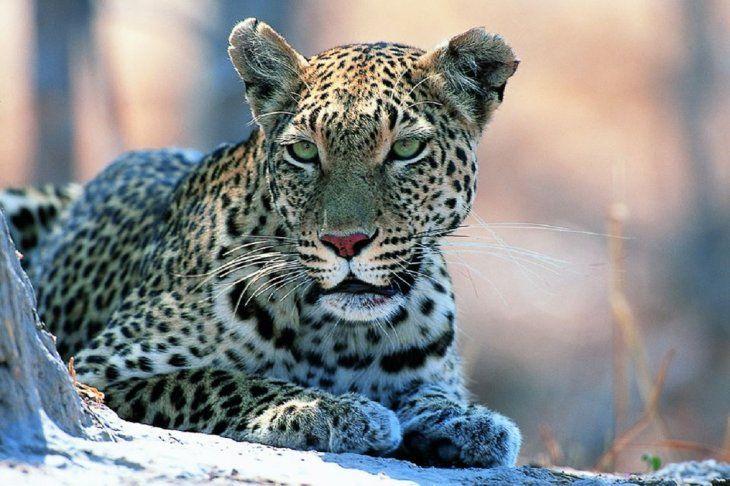 En Sudáfrica, leopardo mata al bebé de un empleado de Parque Nacional