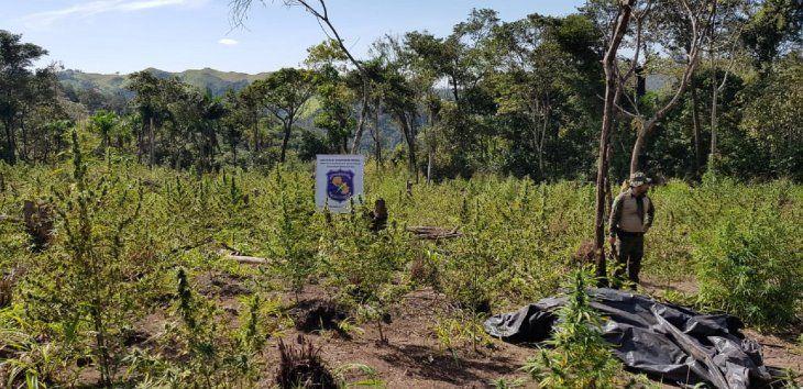 Los agentes lograron destruir 2 hectáreas y 2.000 kilos de marihuana en Concepción.