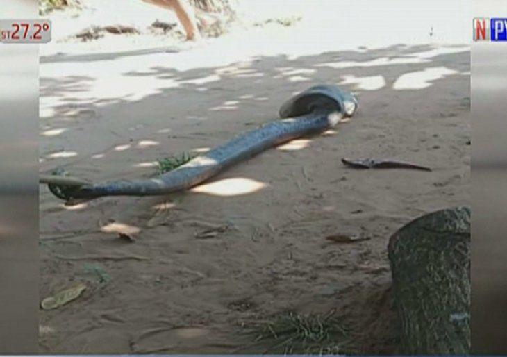 El animal fue llevado hasta el Parque Nacional Cerro Corá.