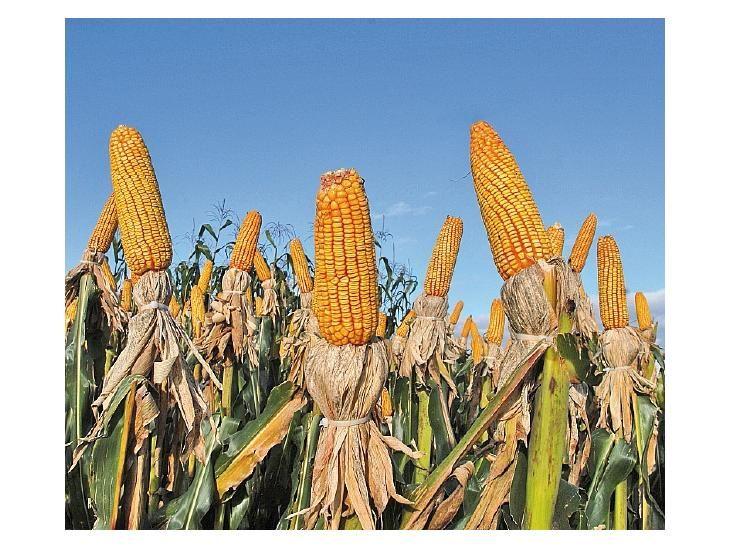 Veto. El maíz es otro de los productos que no desean en la UE.