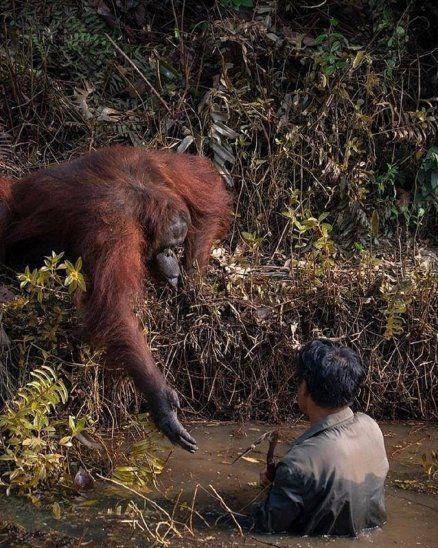 Orangután ofrece ayuda a hombre para salir de río