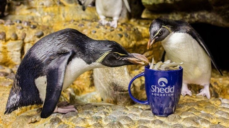 Shedd Aquarium dejó a lospingüinos pasearse en sus instalaciones ante la ausencia de visitantes