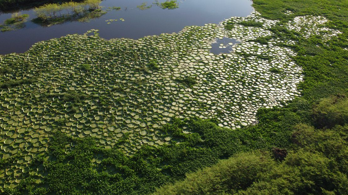 El yacaré yrupẽ aflora y deslumbra con un verde inconfundible sobre el agua