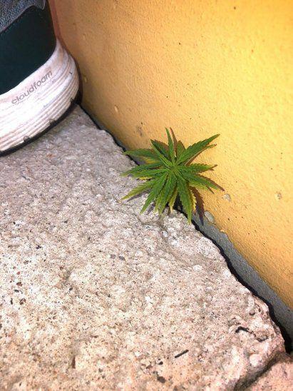 La María crece sobre el cemento de la gradería en Uruguay.