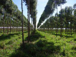 Queda exceptuada de la prohibición la  exportación de maderas en rollos, trozos y vigas de especies  provenientes de plantaciones forestales exóticas, como el eucalipto o el  pino.