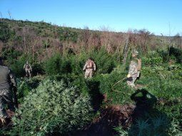 Las estructuras del narcotráfico últimamente establecieron varias  bases de producción de drogas en los extensos bosques, destruyendo  montes protegidos para cultivar marihuana.