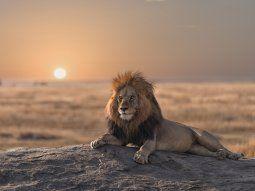 En el pasado, los leones fueron una de las especies de mamíferos más  extendidas, con distintas poblaciones en África, Eurasia y América, pero  en los últimos 200 años los leones han disminuido en un 90%.