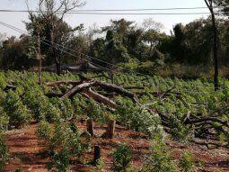 Se logró la destrucción de 60 hectáreas de plantaciones de marihuana  Creespy o Cripy en etapa de crecimiento, un total de 15 campamentos además de un  vivero con 10.000 plantines de la hierba.