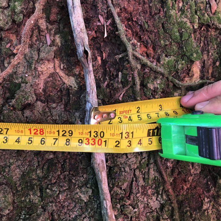 Optimismo. Los guaireños están esperanzados en ganar el concurso de Coloso de la Tierra. El candidato es una variedad de timbó y mide más de 3 metros de diámetro.