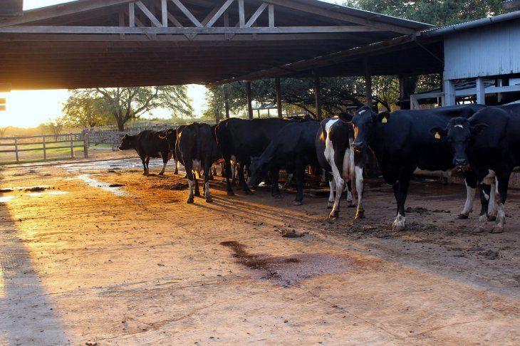 El estudio señala que Paraguay deforesta 734 hectáreas por cada 1.000 toneladas de carne vacuna exportada