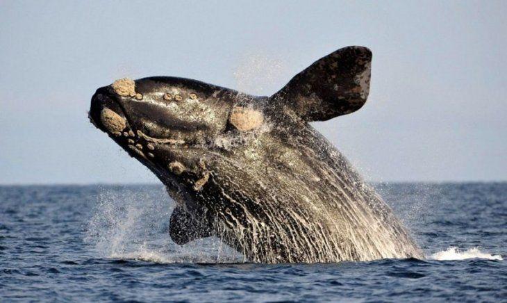 La ballena franca del Atlántico Norte (Eubalena glacialis) no solo es uno de los animales más amenazados del planeta