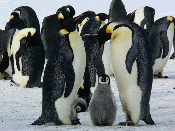 La supervivencia de los pingüinos depende en gran medida de lo que ocurra con el hielo marino
