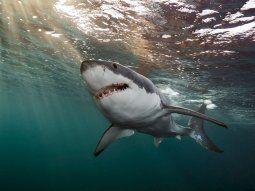Una investigación de la Universidad de Florida apoya la teoría de que los tiburones utilizan el campo magnético de la Tierra como ayuda para encontrar su camino.