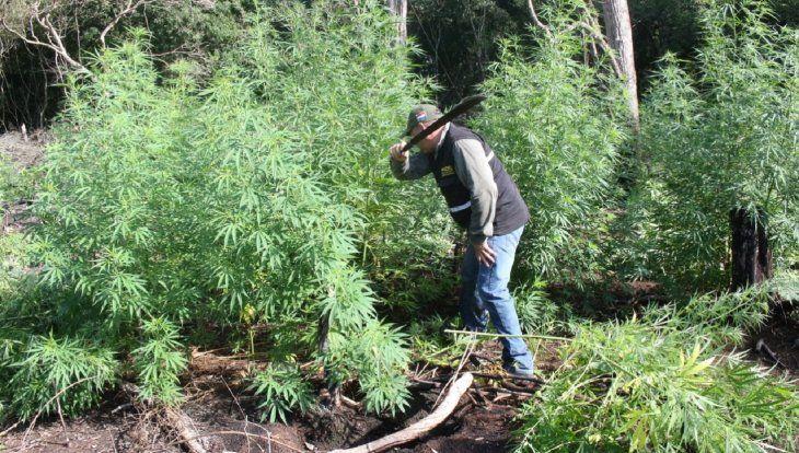 La destrucción de la marihuana estuvo a cargo de laUnidad de Inteligencia Sensible (SIU) de la Policía Nacional