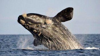La ballena franca del Atlántico Norte (Eubalena glacialis) no solo es uno de los animales más amenazados del planeta, sino que es cada vez más pequeña.