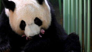 Dos crías hembras de pandas gigantes, una especie protegida procedente de China con dificultades para reproducirse, nacieron en la madrugada del lunes en el zoológico francés de Beauval (a unos 200 kilómetros de París).