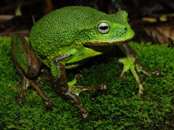 Fotografía de una nueva especie de rana descubierta. Se trata de  una rana marsupial del género Gastrotheca